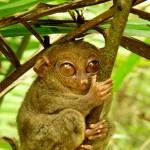 Tarsier_Hugs_Mossy_Branch